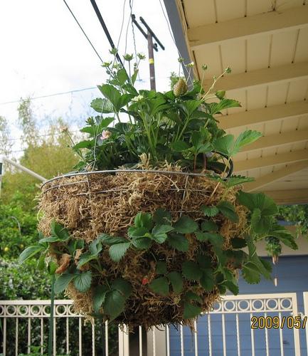 Как правильно вырстить землянику(клубнику) на балконе. - сез.